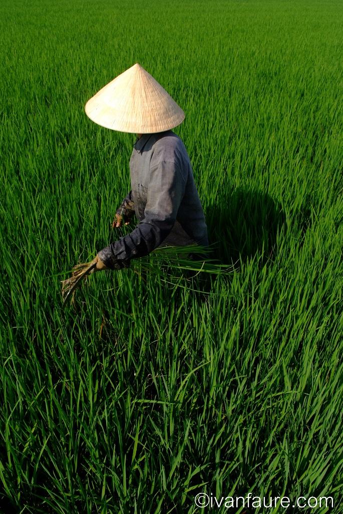 campesina trabajando campo de arroz en vietnam
