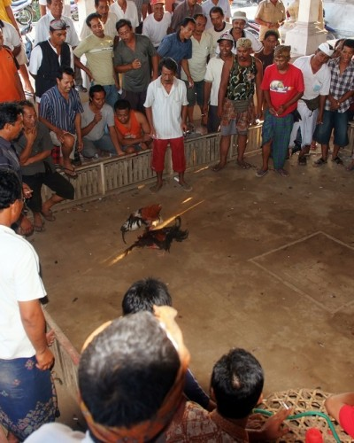 Pelea de Gallos (Indonesia) / Rooster fights (Indonesia)